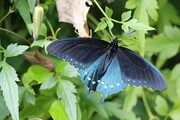 Blue/black monarch butterfly