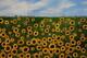 Sunflowers 24 x 36 on canvas,  putty knife $600